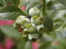 02-050607-blueberry-2