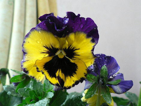 To0109022301pansy003002