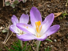 Ha0109022801crocus010002