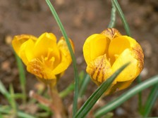 Ha0109030101crocus003002