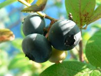 Ha0311070507180703blueberry01
