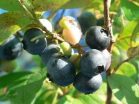 Ha0711070507200707blueberry01