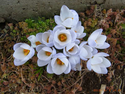 Ha0512030614450305crocus01