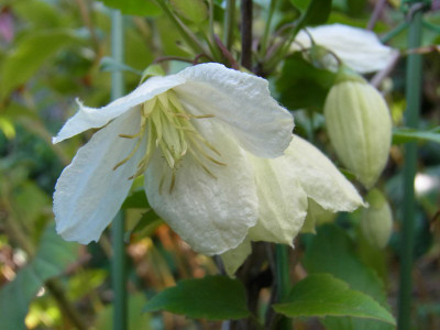 Ha0412110313191106winterclematis01