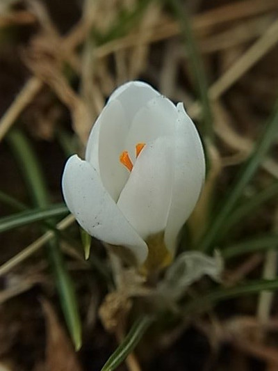 Ha122014a_0212_141707r0040359crocus