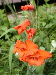 ha00-050706-gladiolus-0050-2