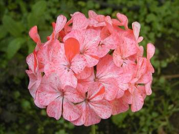 ha01-050618-psmix-geranium-0060-2