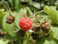 ha03-050613-2-raspberry