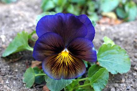 ha051220-0270-pansy_edited