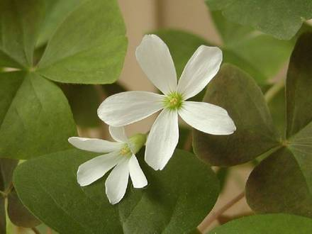 hana-01-5717-oxalis