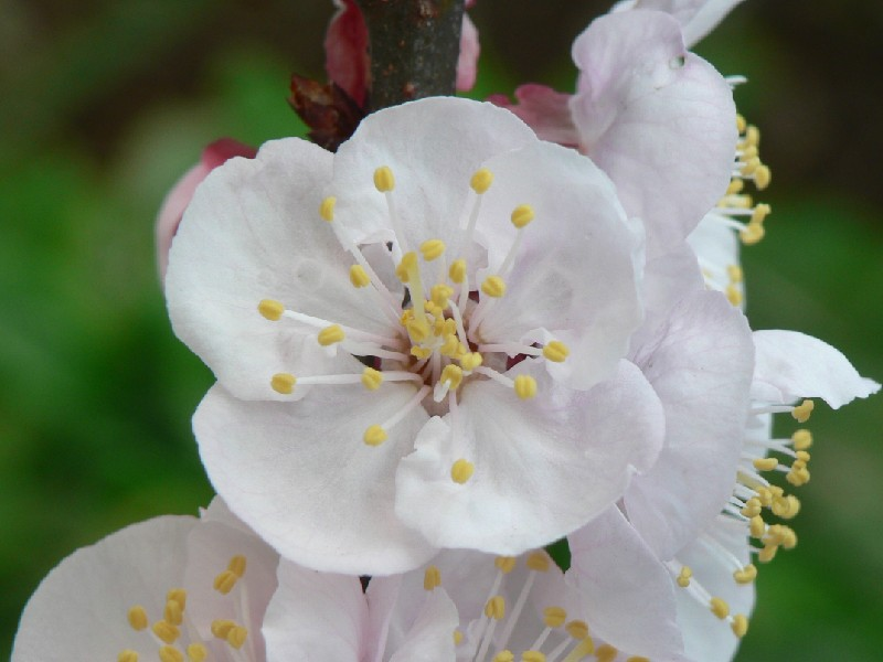 アンズ(杏子): My Tiny Flower Garden