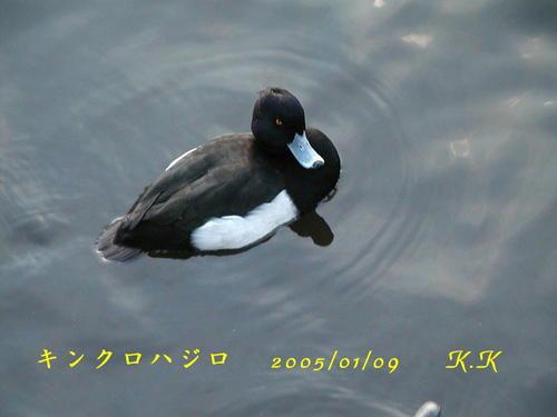 To_kinkurohajiroueno0501092
