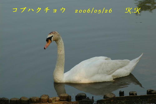 To_kobuhakuchou0605252