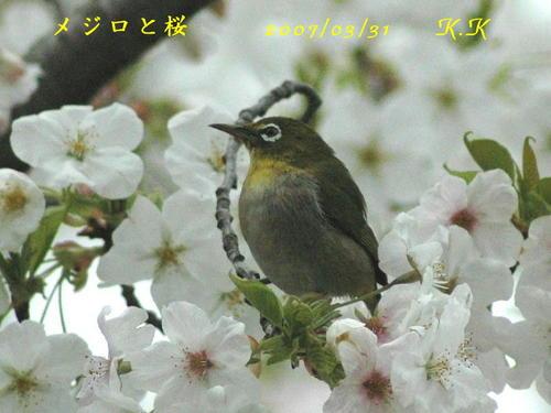 To_mejiro_sakura__01s00200703311