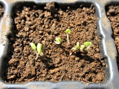 Lettuce201910093img_1101